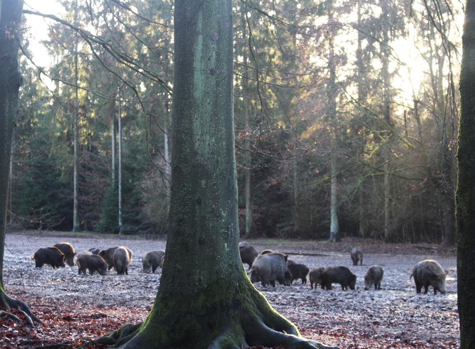 Trapen_Schweine1