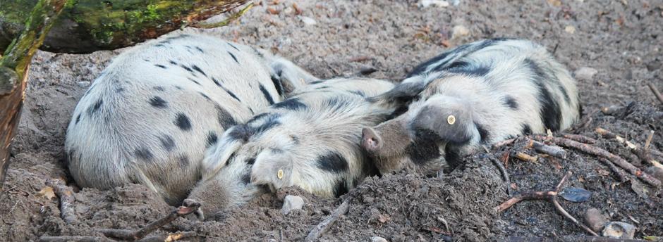 KaN_ArcherWarder_TuropoljeSchwein_SchlafendeWasserSchweine_Foto_(c)www.kielamnil.de