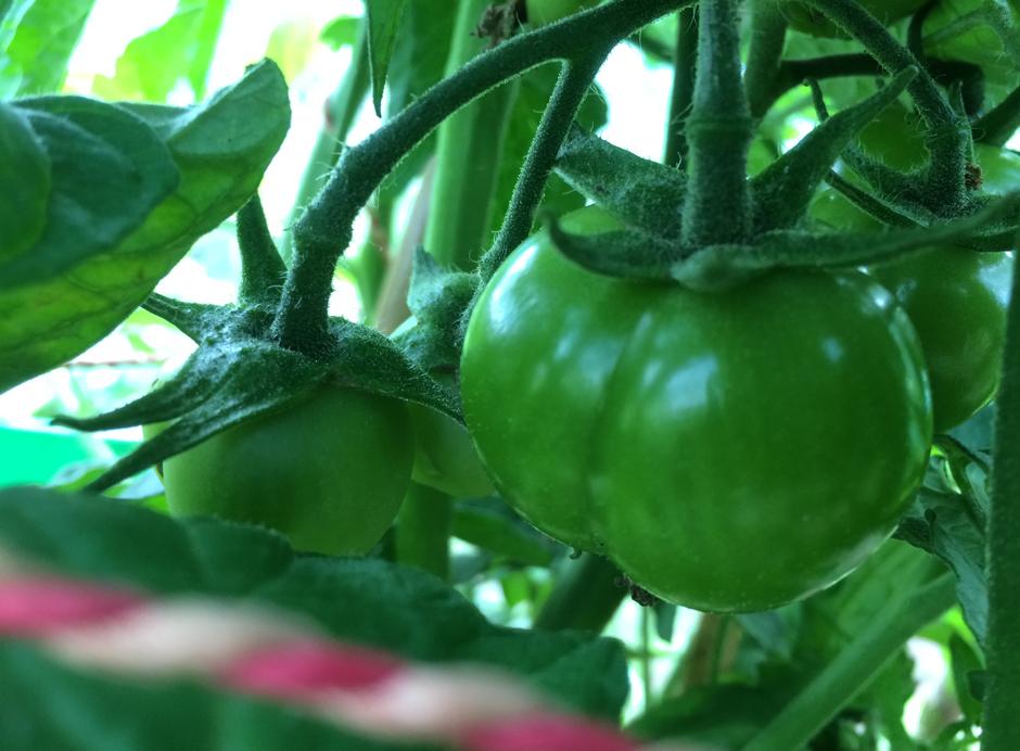 KaN_GutBirkenmoor_EinAckerAmMeer_Juni_Tomatenpflanze_Foto_(c)www.kielamnil.de.jpg